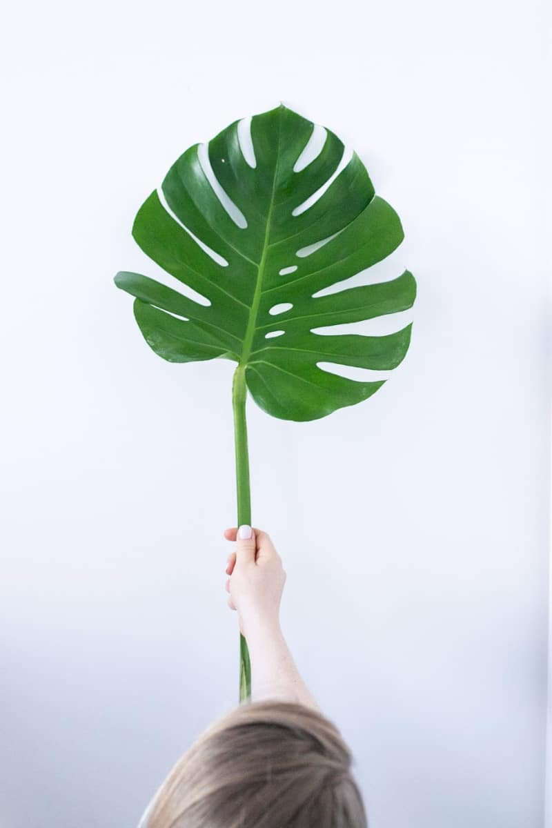 A hand holding a leaf on a white background
